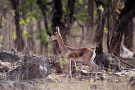 Chinkara (Gazella bennettii) or Indian Gazelle.jpg