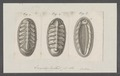 Chiton spec. - - Print - Iconographia Zoologica - Special Collections University of Amsterdam - UBAINV0274 081 06 0030.tif