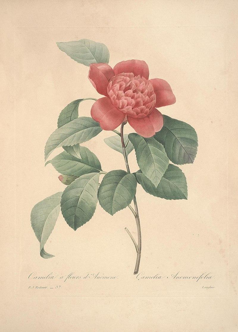 Choix des plus belles fleurs (Plate 37) (7851431718).jpg
