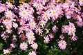 Chrysanthemum Cambodian Queen 3zz.jpg