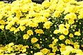 Chrysanthemum Draga 1zz.jpg