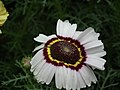 Chrysanthemum from Lalbagh flower show Aug 2013 8334.JPG