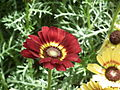 Chrysanthemum from Lalbagh flower show Aug 2013 8338.JPG