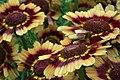 Chrysanthemum from lalbagh7250.JPG