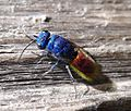 Chrysididae. Ruby-tailed Wasp.Chrysis ignita - Flickr - gailhampshire.jpg