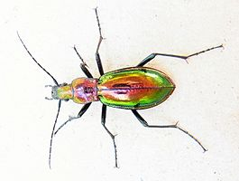 Chrysocarabus splendens up.jpg