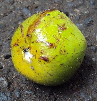 Chrysophyllum roxburghii - Fruit