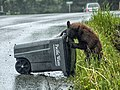 Cinnamon Bear Cub Garbage 22.jpg