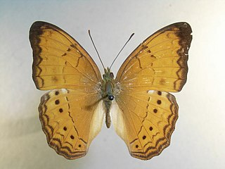 <i>Cirrochroa surya</i> species of insect