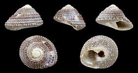 Clanculus guineensis 01.JPG