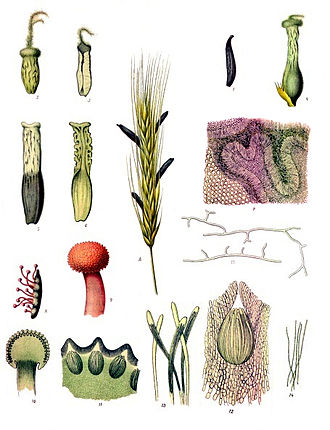 Sclerotium - Various stages in the life cycle of Claviceps purpurea