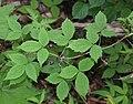 Clematis japonica s8.jpg