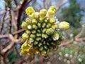 Cluster of paper bush buds (6923814077).jpg