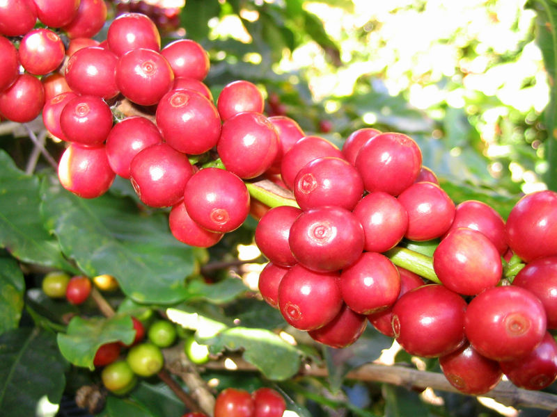 File:CoffeeCatucai.jpg