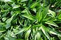 Colchicum speciosum in Jardin des Plantes. Spring leaves.jpg