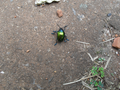 Colorful beetle from Brasília, Brazil in the ground 1.png
