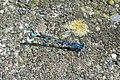 Common Blue Damselfly - geograph.org.uk - 471073.jpg