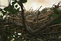 Common Coot (Fulica atra) nest in Hyderabad W IMG 8508.jpg