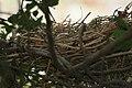 Common Coot (Fulica atra) nest in Hyderabad W IMG 8508.jpg