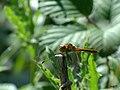 Common Darter dragonfly.(m) Explored. - Flickr - pete. ^hwcp.jpg
