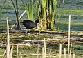 Common Gallinule (picking up nesting material) (34872527372).jpg