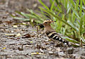 Common Hoopoe on ground.jpg