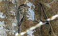 Common Indian Monitor (Varanus bengalensis) juvenile (8753554464).jpg