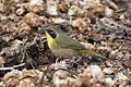 Common Yellowthroat - Flickr - GregTheBusker (3).jpg