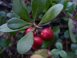 "Common bearberry (""Kinnikinnick"", Arctostaphylos uva-ursi) - fruits and leaves.JPG"