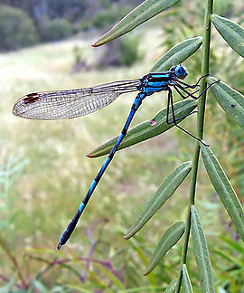 Common blue damselfly02.jpg