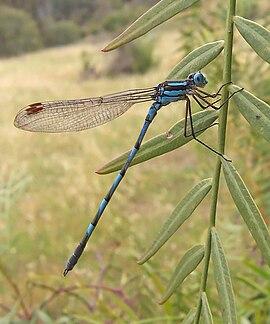 Common blue damselfly02.jpg