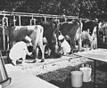Competitors milking cows at the Edmonton Klondike Days Dairy Princess Competition (27655708231).jpg