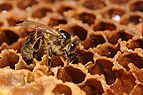 ComputerHotline - Apis mellifera (by) (1).jpg