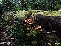 Congonillas y reino fungi.jpg