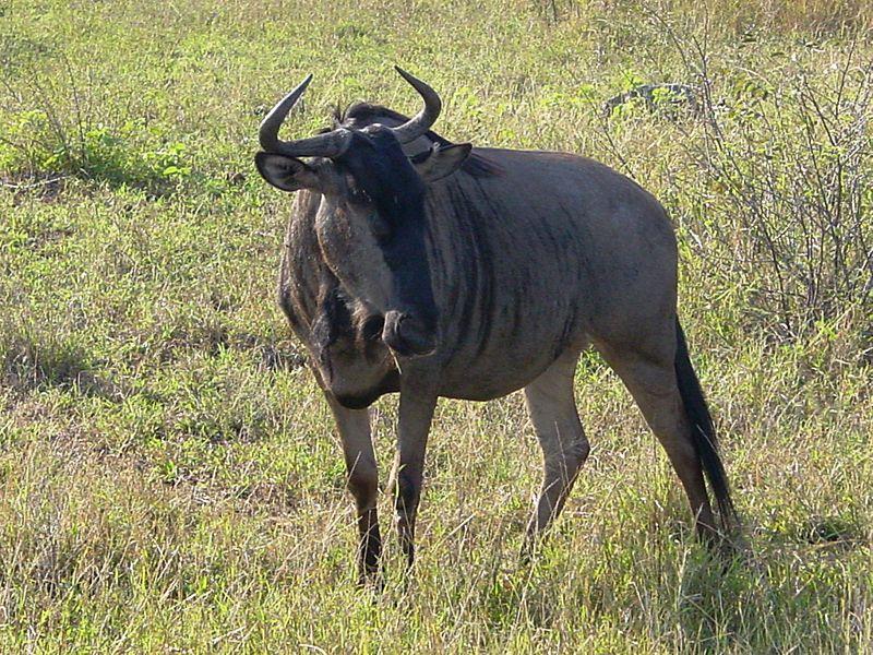 Datei:Connochaetes taurinus Kruger Park.JPG