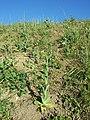 Conringia orientalis sl29.jpg