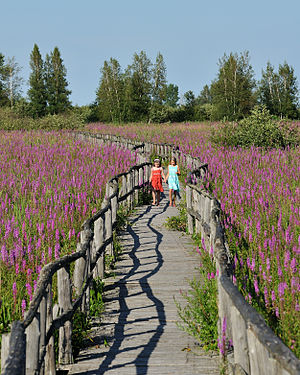 English: Purple-loosestrife, an invasive speci...