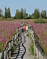 Cooper Marsh - Purple-loosestrife.jpg