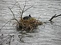 Coot nesting on Buck Beck ,Cleethorpes - geograph.org.uk - 1375608.jpg