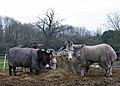 Corley Moor Donkeys 13 365 (39633510382).jpg