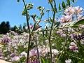 Coronilla varia - crownvetch - Flickr - Matt Lavin (2).jpg