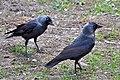 Corvus.Monedula.jpg