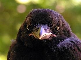Corvus corone young&gentle.JPG