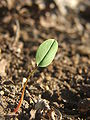 Corydalis cava seedling.jpg