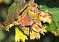 Corylus avellana - Hazelnut - Fındık 2.JPG