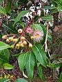CorymbiaFicifolia xCalophylla PerthBG-20171218-1b.jpg