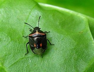 <i>Cosmopepla lintneriana</i> Species of true bug