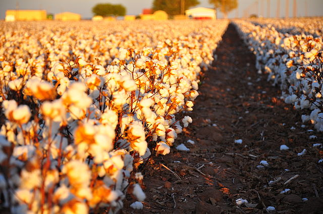 Cotton field - Author Kimberly Vardeman