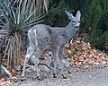 Coues deer (24130478786).jpg