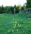 Cowslips on footpath, Broadwell - geograph.org.uk - 1275750.jpg